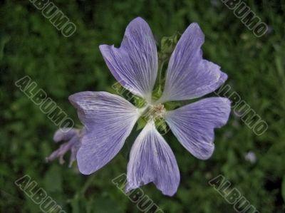 Pale violet flower