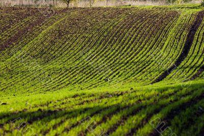 Winter crop field
