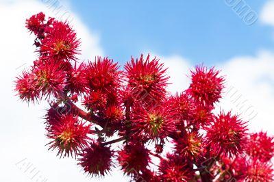 castor flowers in the sky