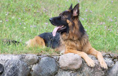 Dog breed german shepherd lies on the grass