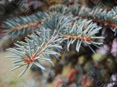 Green pins of the blue fir branch