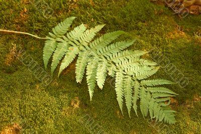 Ferns leaf on the moss