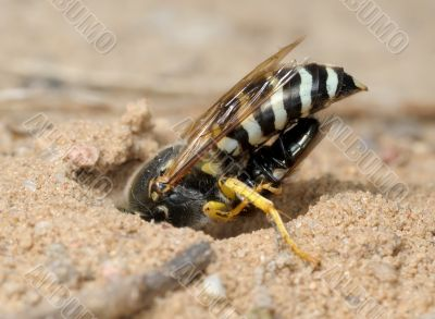 Wasp Bembex rostratus with prey
