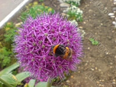 Bumblebee on the violet flower. Spring nature