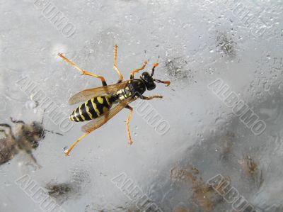 Wasp in a glass jar with sugar syrup