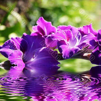 gladiolus flowers in summer