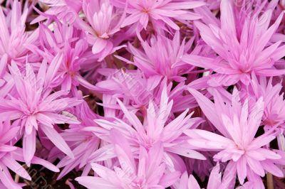Flowerbed with violet colour crocus