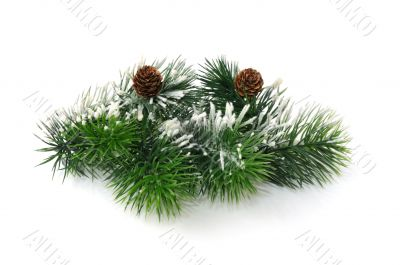 Conifer branch with cones