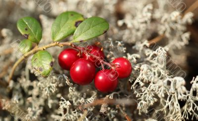 cranberries and gray moss