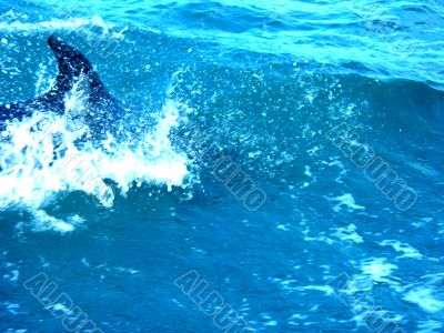 Dolphin In Surf
