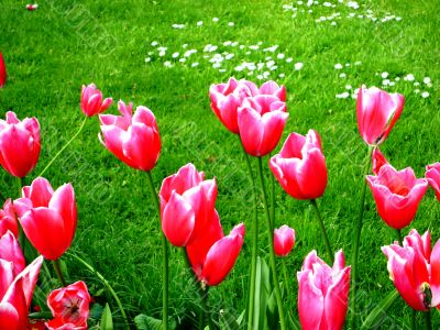 Tulips Over Grassy Meadow