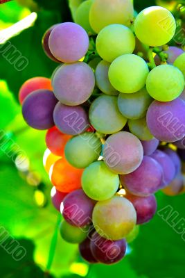 Colorful bunch of grapes