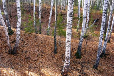 Birch forest in hilly terrain.