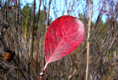 Red leaf tree on the background of branches in autumn.