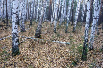 In the birch forest in autumn.