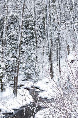 winter trees on snow