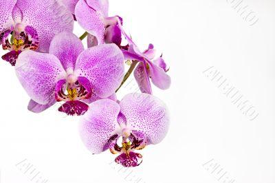 horizontal orchid arrangement