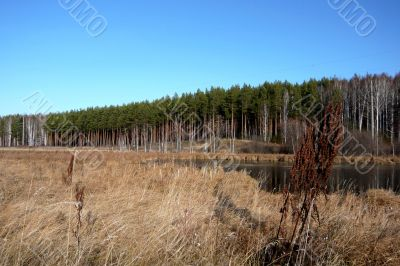 At the edge of a pine forest in autumn.