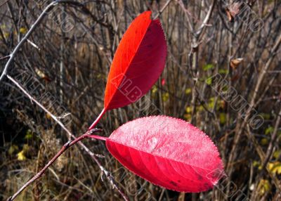 Twig tree with two red leaves.