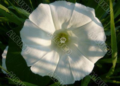 A flower of field bindweed.