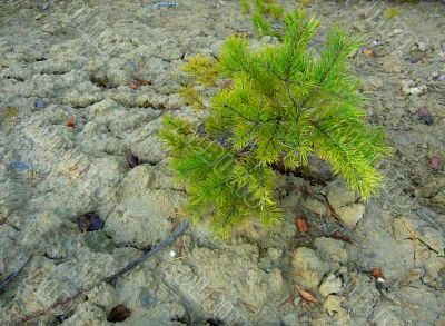 Small pine on a background of white clay.