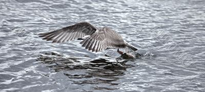 gray seagull the flying