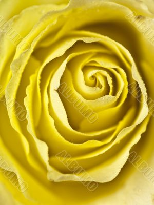 tight shot of a yellow rose centre