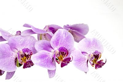 Purple orchid branch