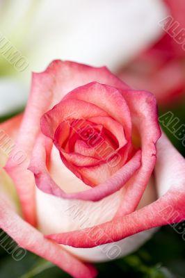 Vertical Pink Rose