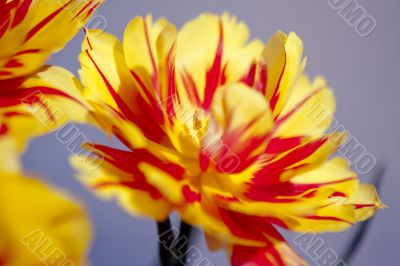 Opened Yellow and Red Tulip