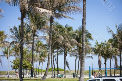 coconut trees at the park
