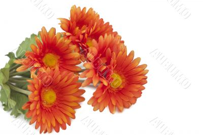 colorful orange daisy