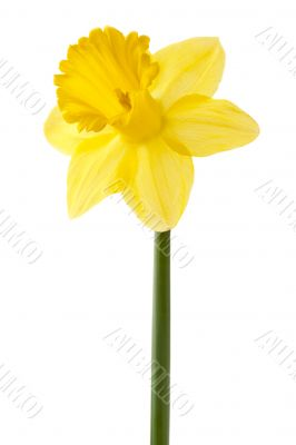 yellow daffodil on a stem