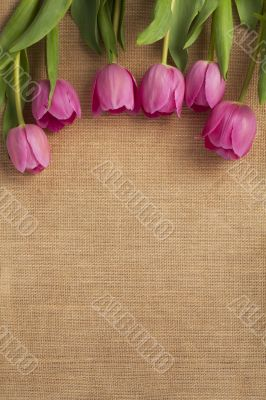 close up shot of pink tulip