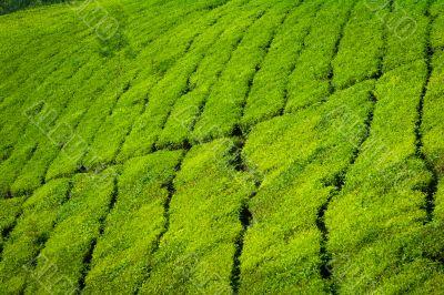 tea plains
