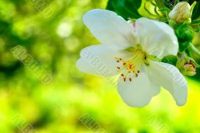 One apple trees flower