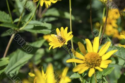 Bee on a yellow flower 2