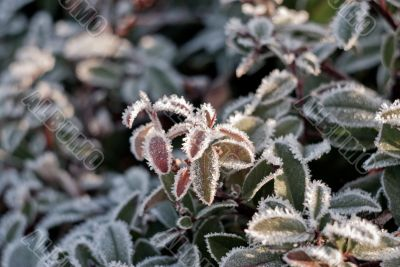 frozen leaves in the morning