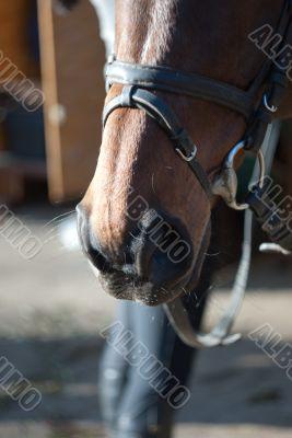 nostrils of a horse harness
