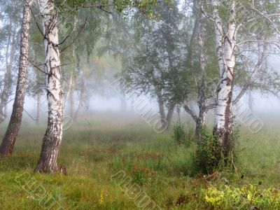 Morning in the birch wood