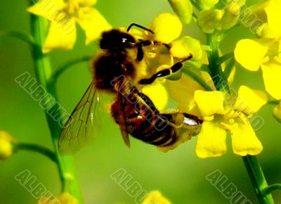 The bee collects nectar