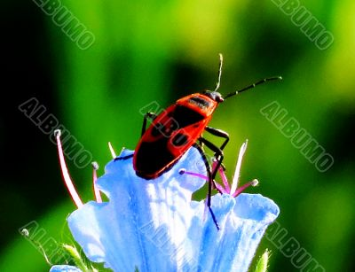 Insect on a blue flower