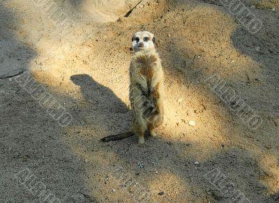 Slender-tailed Meerkat standing in watch