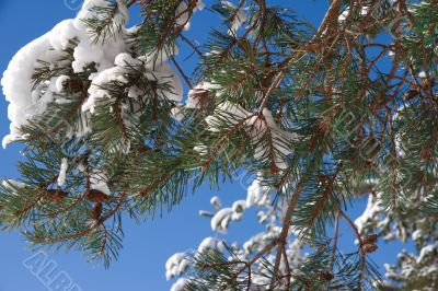 Pine branch with cones and snow against the blue sky.