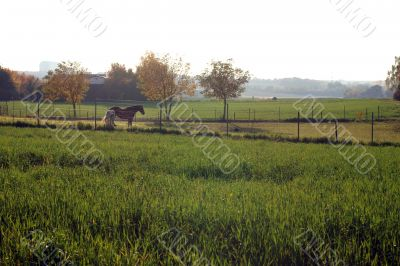 Horses on a pasture