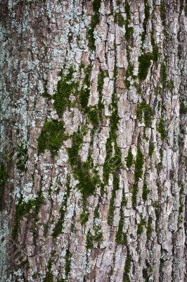 Tree bark with moss closeup