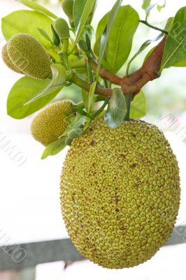 jack fruit on tree in garden, thailand