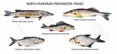 European fishes