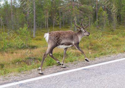 Deer runs on road