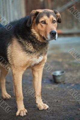 Large guard dog